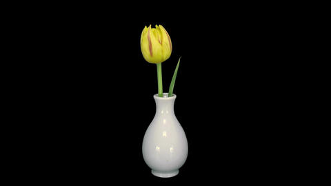 Time-lapse of opening yellow tulip in RGB + ALPHA matte format Live Action