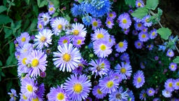 Blue asters in the garden Footage