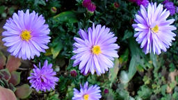 Blue asters in the autumn garden Footage