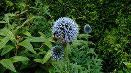 Bumblebees and bees on ornamental thistle in the garden Footage