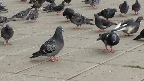 Flock of Pigeons Feeding at Square Footage