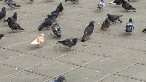 Flock of Pigeons Feeding Footage
