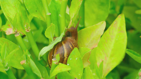 Garden snail on a branch Footage