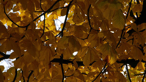 Water reflects on autumn leaves on tree Footage