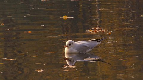 One seagull on water Footage
