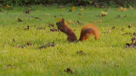 Squirrel jumps on grass in clearing Footage