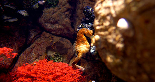 Pot Bellied Seahorse - Hippocampus Abdominalis Footage