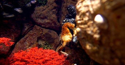 Pot Bellied Seahorse - Hippocampus Abdominalis Footage