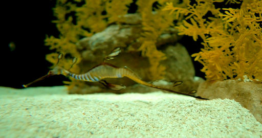 Common Seadragon - Phyllopteryx Taeniolatus Live Action