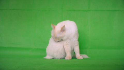 Ragdoll. The cat cleans itself Stock Video Footage