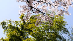 Titling up from bamboo tree to cherry blossoms in sunshine ビデオ