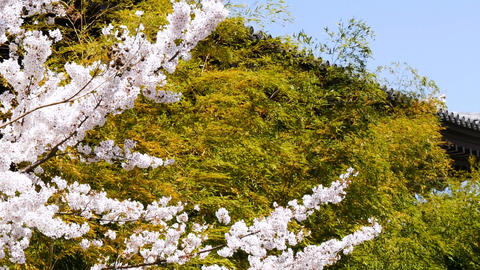 Zoom out shot of blooming cherry blossoms by the roof of a temple Archivo