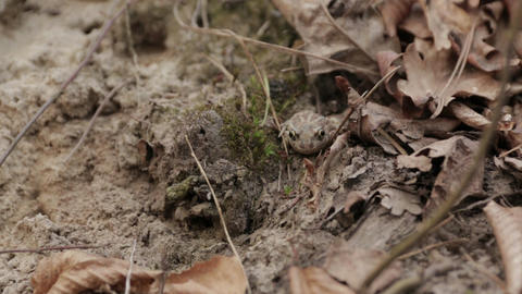 Toad in the Forest 03 Footage