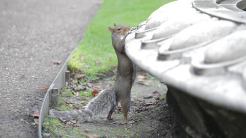 A gray squirrel is reaching up to the fountain but changes its mind Footage