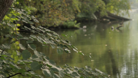 Ducks on the river with focusing Footage