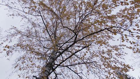 Autumn Birch Tree rotation movement Footage