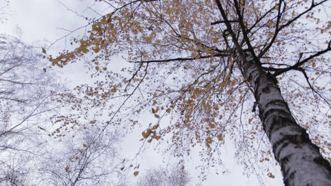 Birch Tree with Yellow Leaves movement 02 Footage