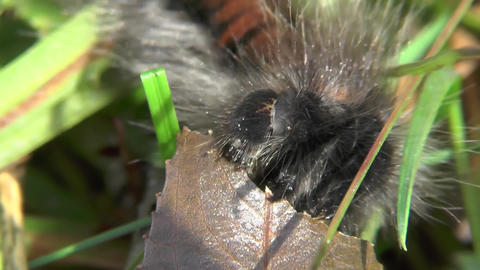 Insatiable Caterpillar of Macrothylacia rubi Fox moth greedily eats. Timelapse Footage