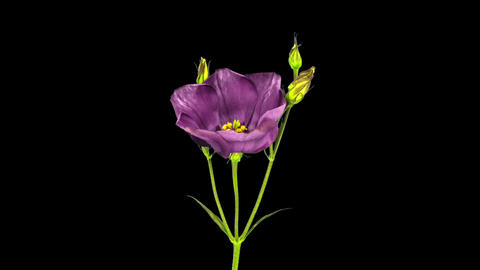 Time-lapse of blooming japanese rose (eustoma) in RGB + ALPHA matte format Footage