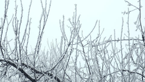 Frosted Tree Branches Fading to Sky Footage