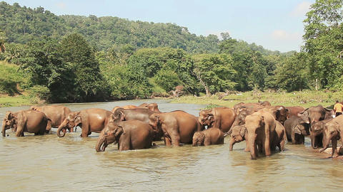 Elephants Watering River Footage
