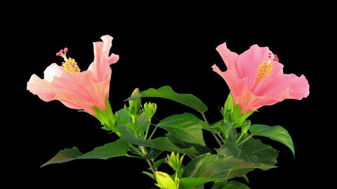 Time-lapse of opening pink chinese rose in RGB + ALPHA matte format Archivo