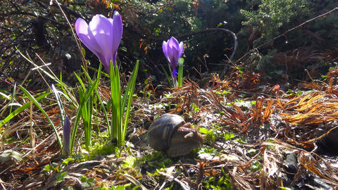 In the city garden blooming crocuses. Krasnodar. Russia Footage