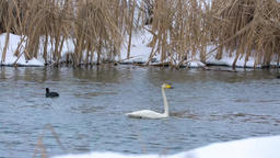 Swan on a river, wintertime Footage