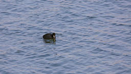 Eurasian coot on the river Footage