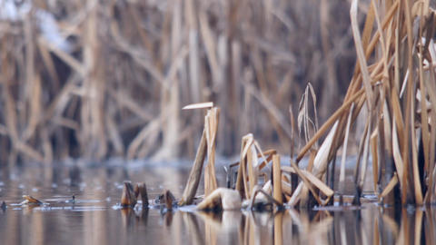 Dry reed which is reflected in the dirty water of a lake in winter 145 Live Action