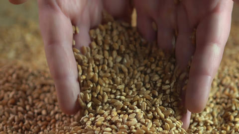 Wheat grain falling from male hands into heap of crop, agriculture business Footage