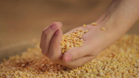 Dried split peas dropping in hand, high quality food product, organic farming Footage