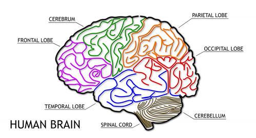 4K Human Brain 02 Animation