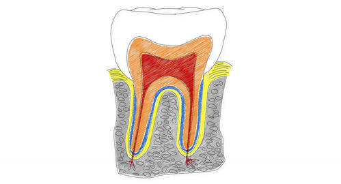 4K Human Tooth Structure 04 Animation