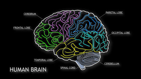 Human Brain 15 Animation