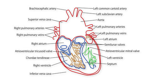 Human Heart 02 Stock Video Footage