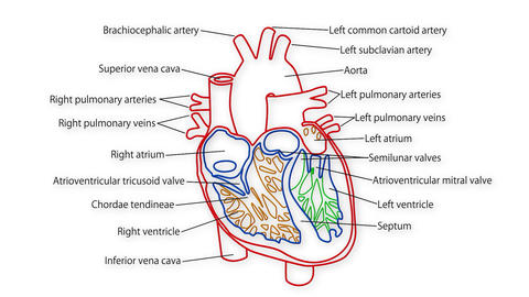 Human Heart 02 Animation