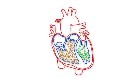 Human Heart 04 Animation