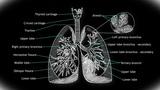 Human Lung 02 Animation