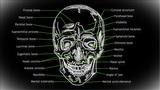 Human Skull 02 front Animation