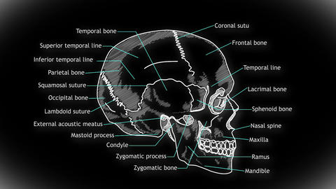 Human Skull 06 side Animation