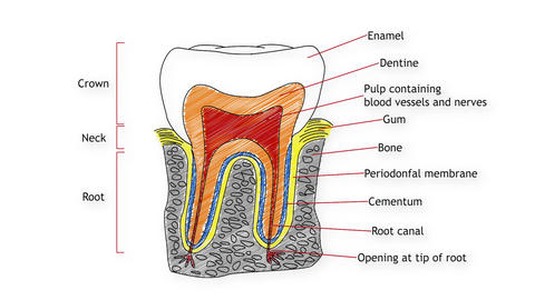 Human Tooth Structure 02 Stock Video Footage