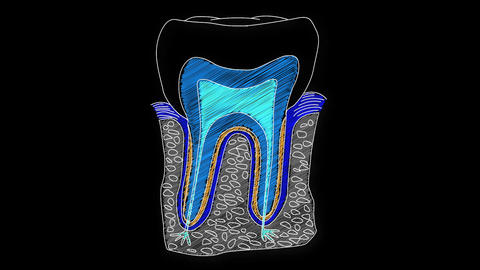 Human Tooth Structure 06 Animation