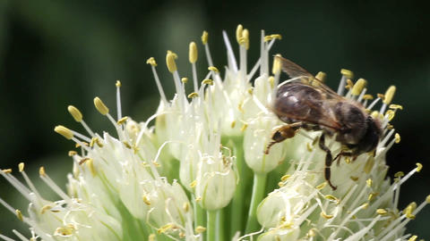 bee on a flowering onion Stock Video Footage