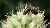 bee on a flowering onion Footage