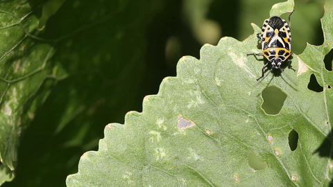 Eurydema ventralis. common name: Red Cabbage Bug Stock Video Footage