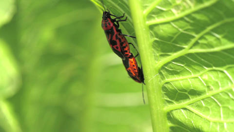 Red Cabbage Bug. mating. Eurydema ventralis Stock Video Footage