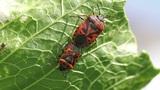cabbage bug couple Eurydema ventralis close-up Footage