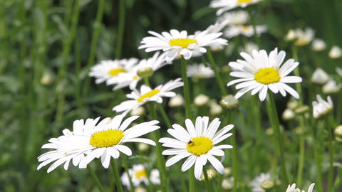 field of white daisies Stock Video Footage