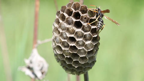 Wasp on his nest Stock Video Footage